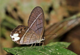 Butterfly Cuyabeno