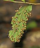 Wasps Cuyabeno
