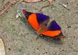 Butterfly-Cuyabeno7.jpg