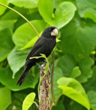 Large-billed Seed-Finch
