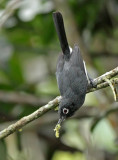 Slate-throated Gnatcatcher