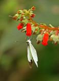 Butterfly Mashpi2a