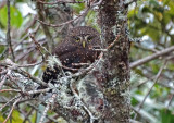 Andean Pygmy-Owl