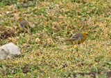 Bright-rumped Yellow-Finch