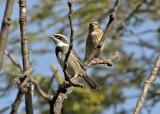 Collared Warbling-Finch