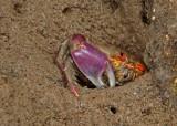 Crab Manglares-Churute