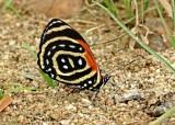 Butterfly Yankuam1a