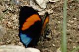 Butterfly Yankuam1b