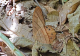 Butterfly Bombuscara