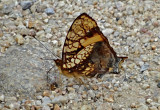 Butterfly Bombuscara1a