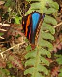 Butterfly Chincapintza1b