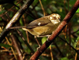 Pale-headed Brush-Finch
