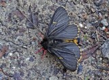Butterfly Saraguro