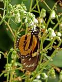 Butterfly Yankuam