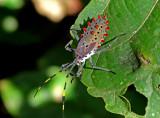 Leather Beetle Kapawi