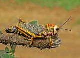 Grasshopper Porculla