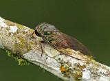 Cicada Silanche