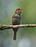 Blackish Pewee