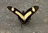 Butterfly Limoncocha