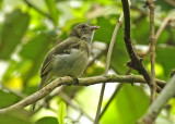 Yellow-crowned Elaenia