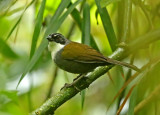 Gray-browed Brush-Finch