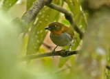 Yellow-whiskered Bush-Tanager