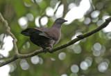 Ruddy Pigeon