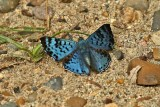Butterfly Canta Gallo