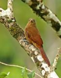 Cinnamon-throated Woodcreeper
