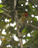 Golden-green Woodpecker