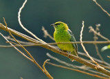 Dotted Tanager