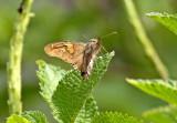 Butterfly Chaparri