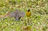 Shiny Cowbird and Yellowthroat