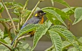 Lacrimose Mountain-Tanager