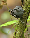 Scale-backed Antbird