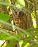 Tawny-bellied Screech-Owl