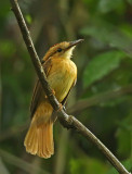 Pacific Royal-Flycatcher
