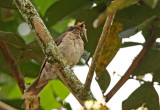Black-billed Thrush