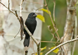 Black-billed Seed-Finch