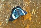 Butterfly Yamkuam