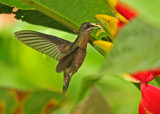 Rufous-breasted Hermit