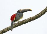 Stripe-billed Aracari