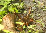 Crab Buenaventura