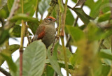 Line-cheeked Spinetail