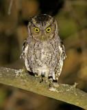West Peruvian Screech-Owl