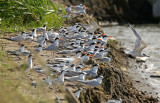 Terns Purocongo