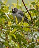 Black-headed Hemispingus