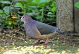 Ochre-bellied Dove