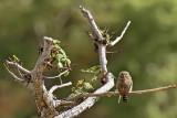 Pacific Pygmy-Owl