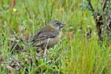 Peruvian Sierra-Finch